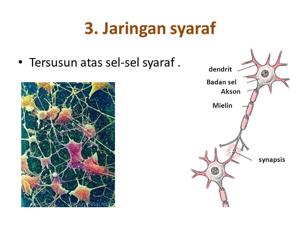 3. Jaringan syaraf Tersusun atas sel-sel syaraf . dendrit Badan sel