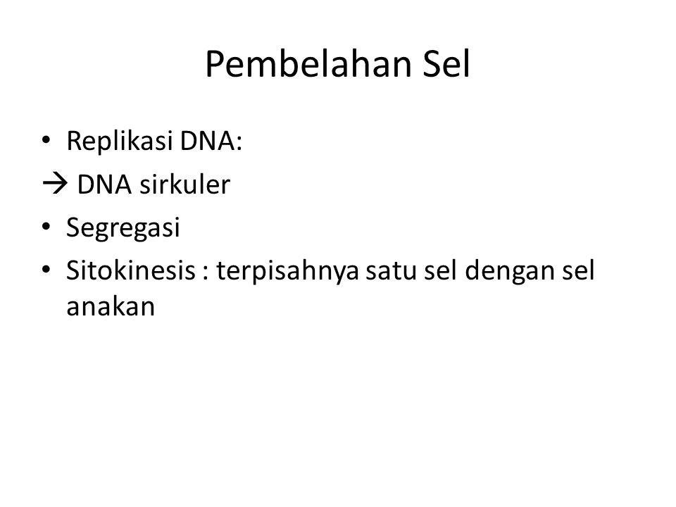 Pembelahan Sel Replikasi DNA:  DNA sirkuler Segregasi