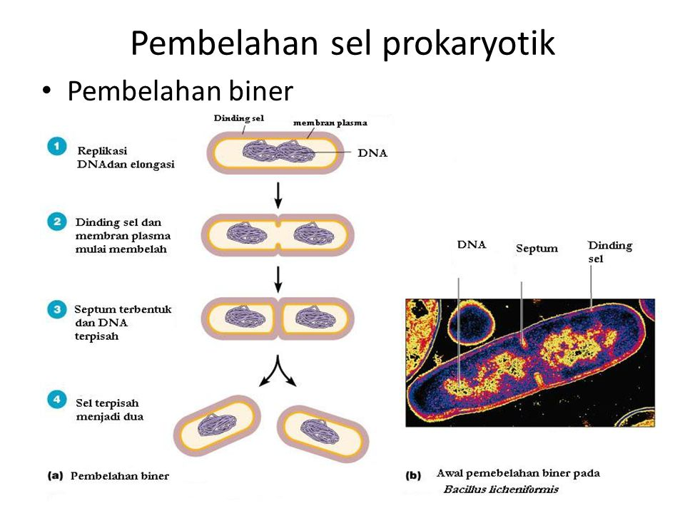 Pembelahan sel prokaryotik