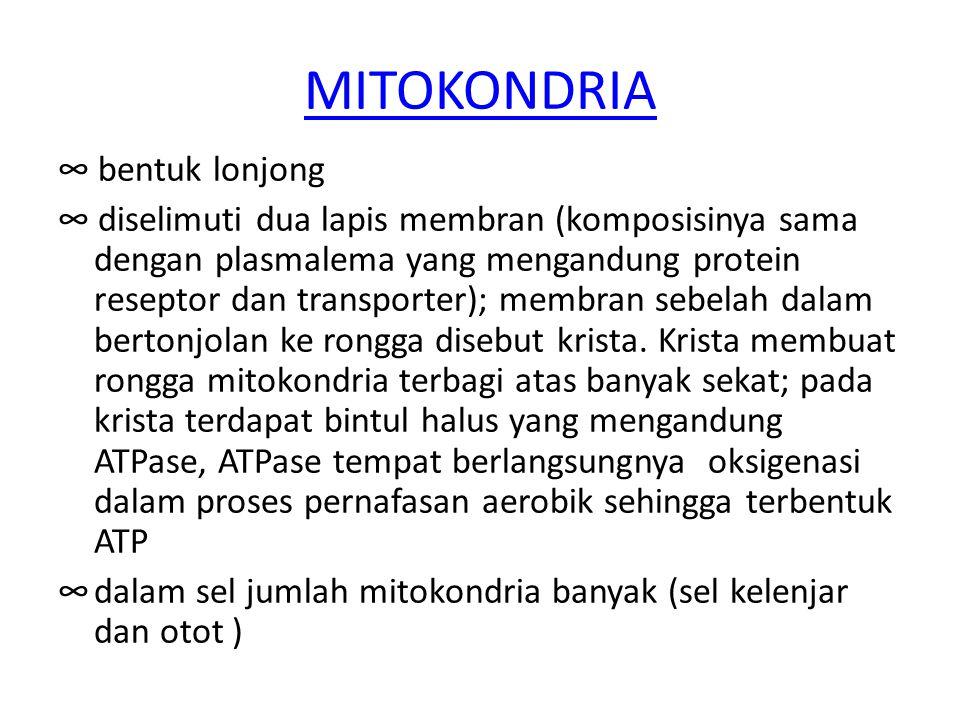 MITOKONDRIA ∞ bentuk lonjong