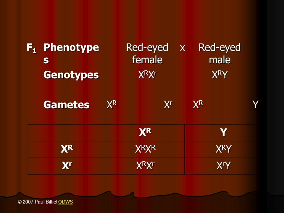 F1 Phenotypes Red-eyed female x Red-eyed male Genotypes XRXr XRY