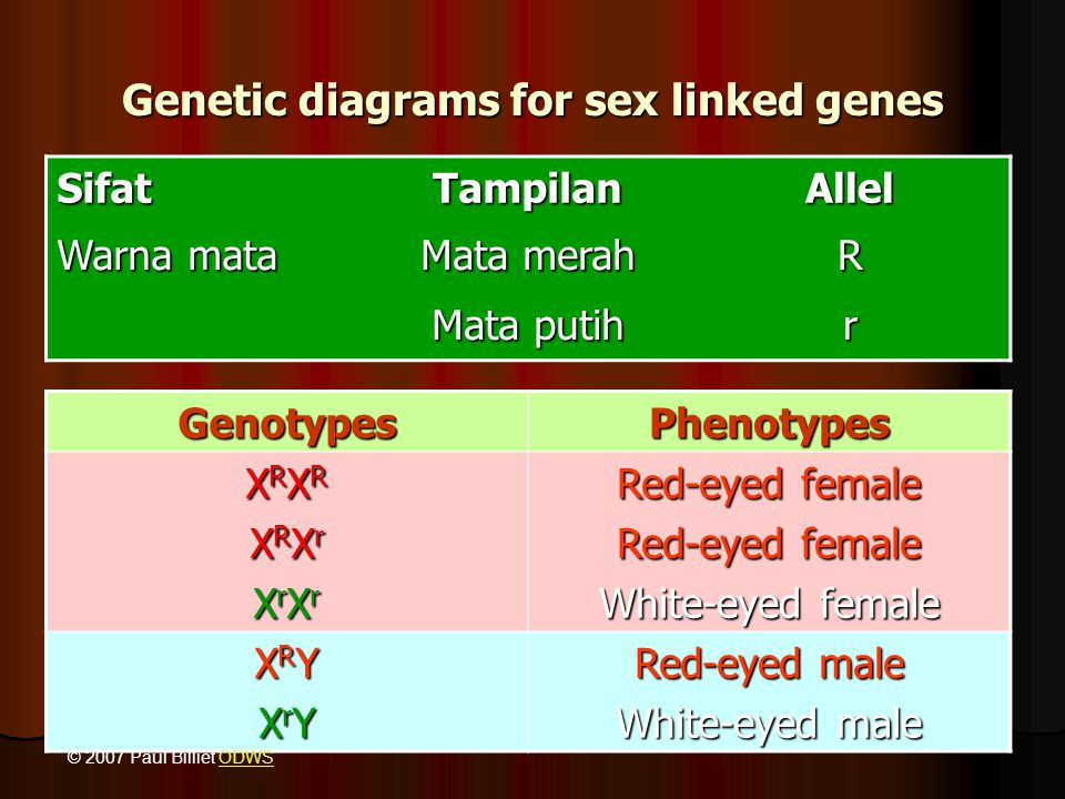 Genetic diagrams for sex linked genes