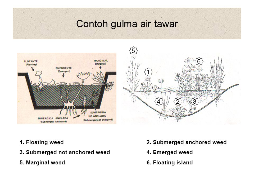 Contoh gulma air tawar 5. 6. 1. 4. 2. 3. 1. Floating weed 2. Submerged anchored weed. 3. Submerged not anchored weed 4. Emerged weed.