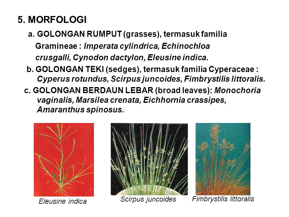 Fimbrystilis littoralis