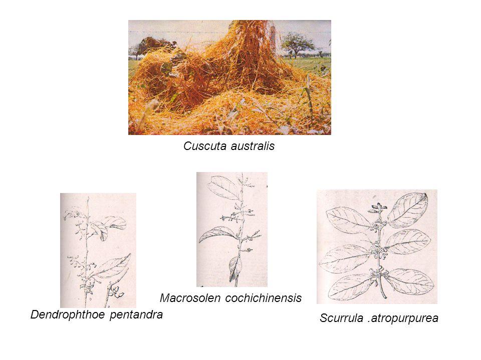Macrosolen cochichinensis Dendrophthoe pentandra