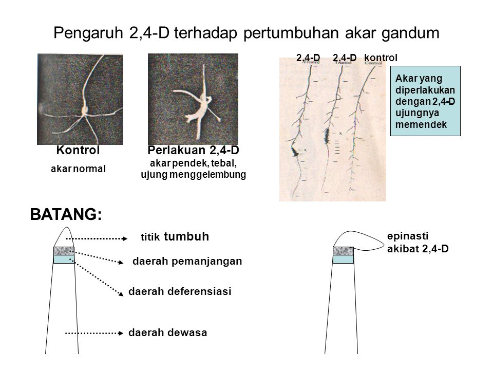 Pengaruh 2,4-D terhadap pertumbuhan akar gandum