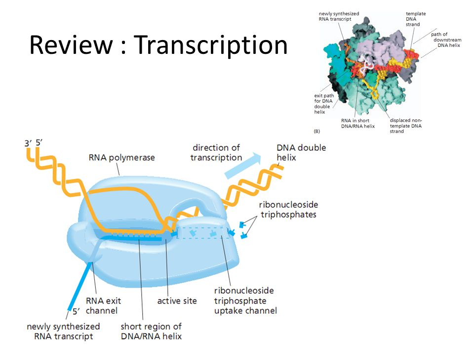 Review : Transcription