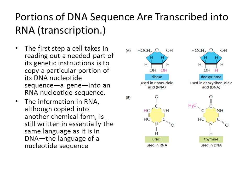 Portions of DNA Sequence Are Transcribed into RNA (transcription.)