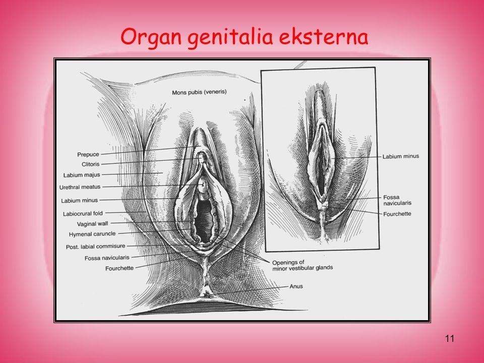 Organ genitalia eksterna