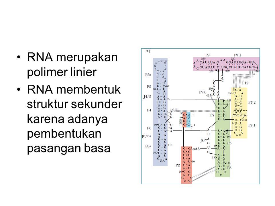 RNA merupakan polimer linier