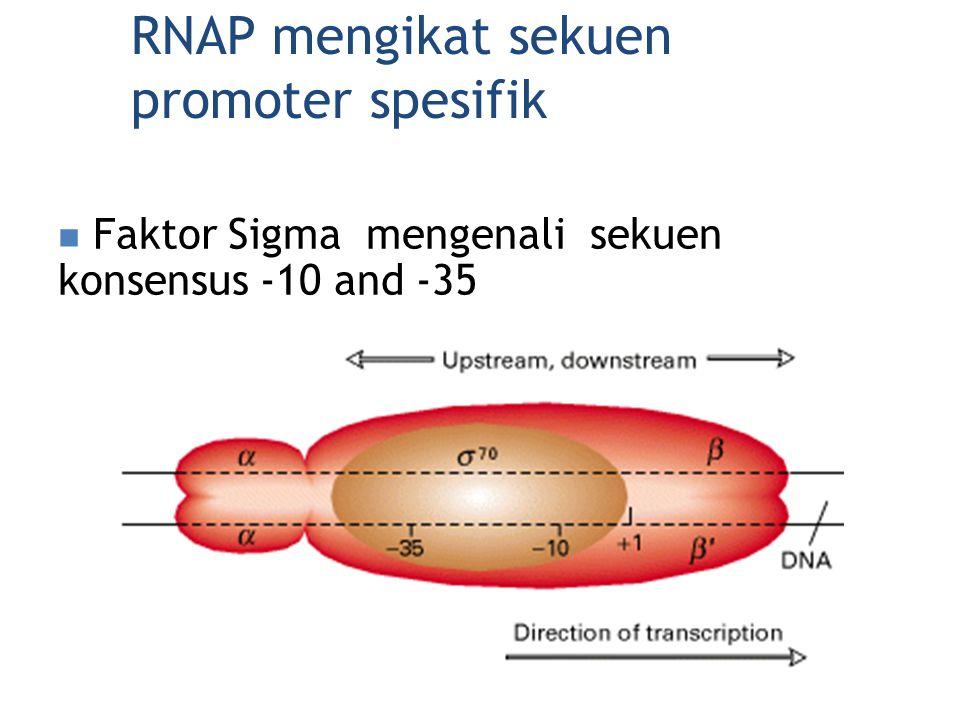RNAP mengikat sekuen promoter spesifik