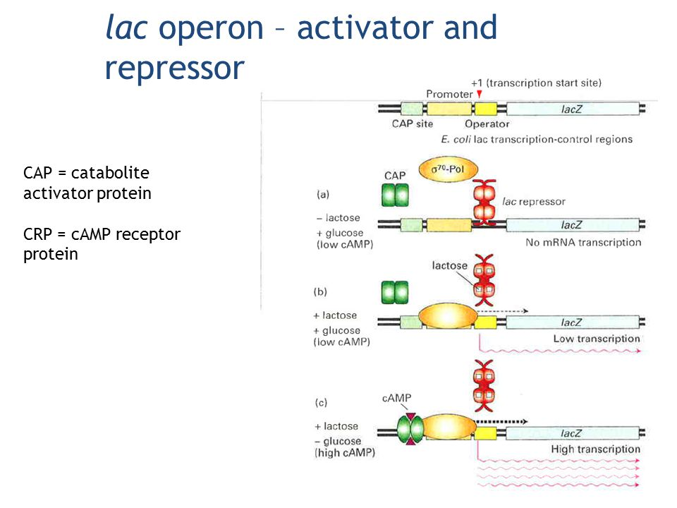 lac operon – activator and repressor