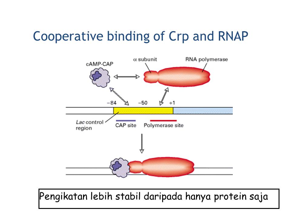 Cooperative binding of Crp and RNAP