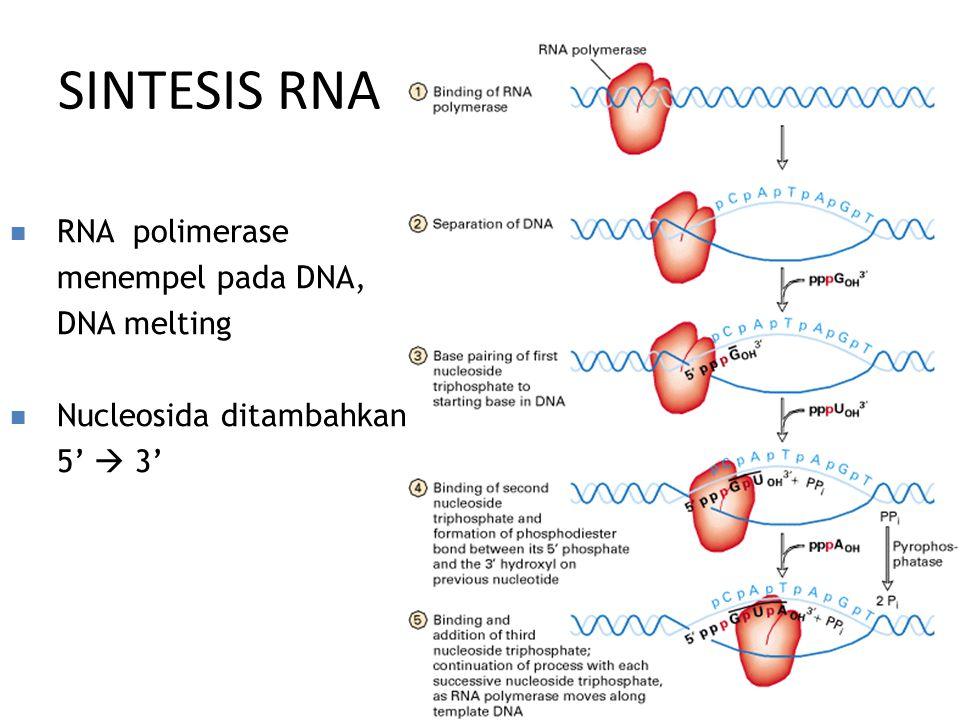 SINTESIS RNA RNA polimerase menempel pada DNA, DNA melting