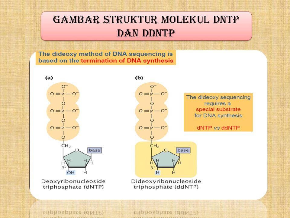 GAMBAR Struktur molekul DNTP dan ddNTP