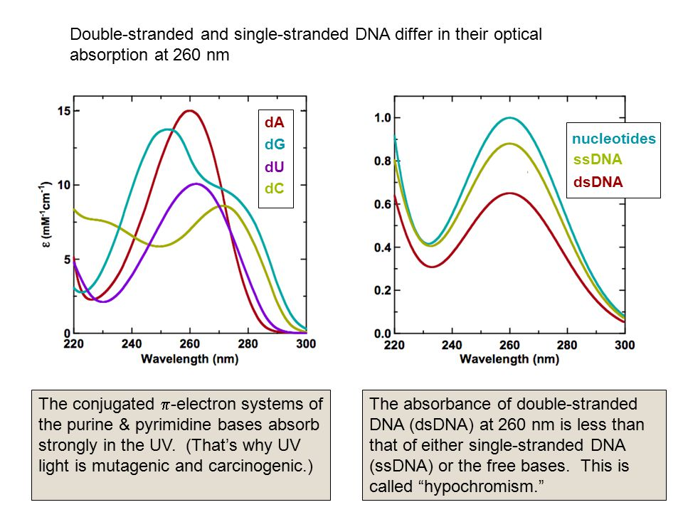 Double-stranded and single-stranded DNA differ in their optical absorption at 260 nm