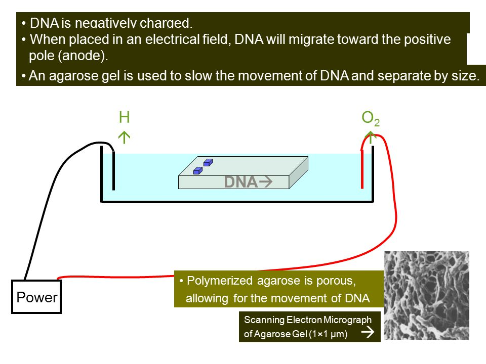 + - DNA H  O2  Power • DNA is negatively charged.