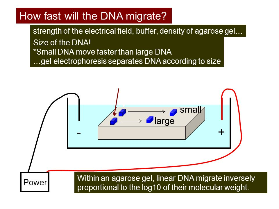+ - How fast will the DNA migrate DNA small large Power