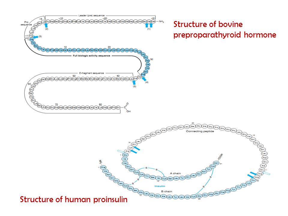 Structure of bovine preproparathyroid hormone