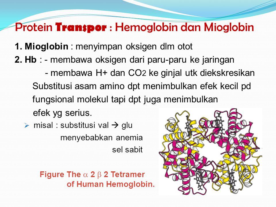 Protein Transpor : Hemoglobin dan Mioglobin
