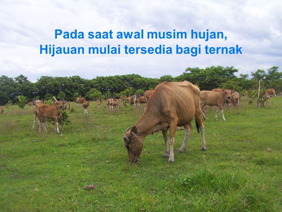 Pada saat awal musim hujan, Hijauan mulai tersedia bagi ternak