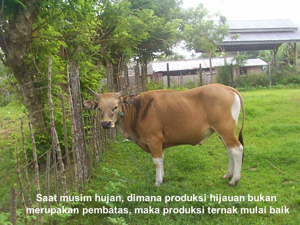 Saat musim hujan, dimana produksi hijauan bukan