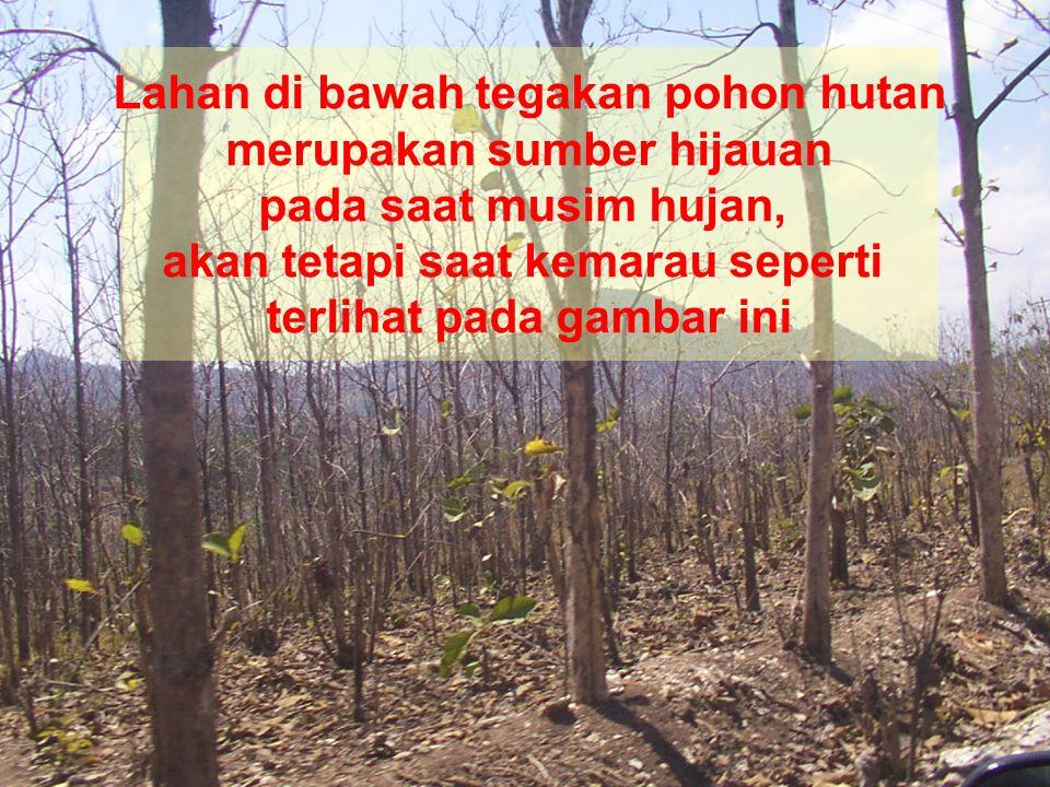 Lahan di bawah tegakan pohon hutan merupakan sumber hijauan