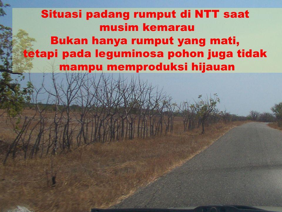 Situasi padang rumput di NTT saat musim kemarau