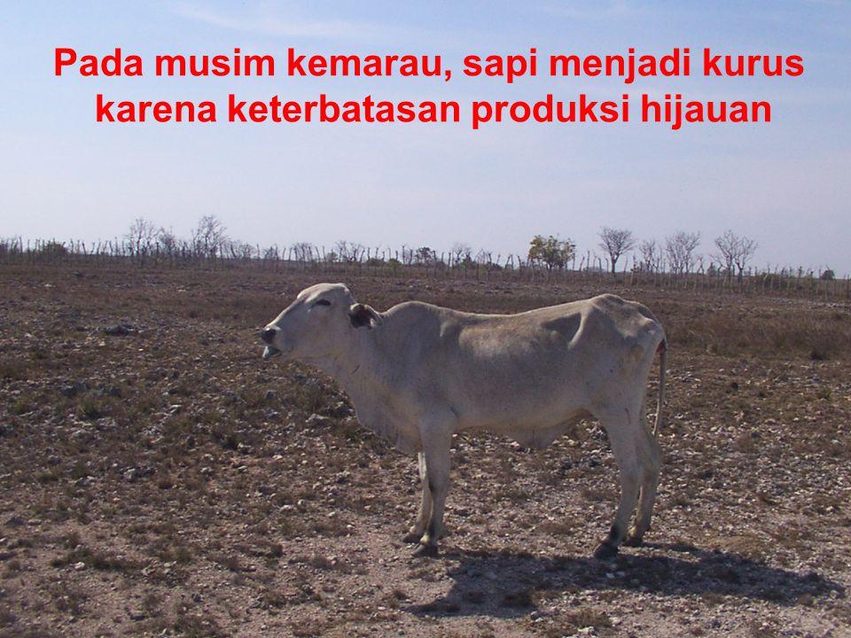 Pada musim kemarau, sapi menjadi kurus