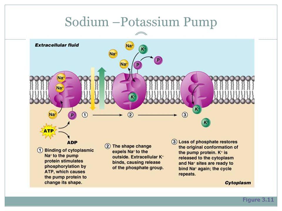Sodium –Potassium Pump