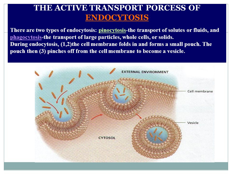 THE ACTIVE TRANSPORT PORCESS OF ENDOCYTOSIS