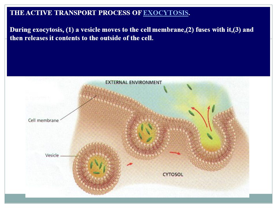 THE ACTIVE TRANSPORT PROCESS OF EXOCYTOSIS.