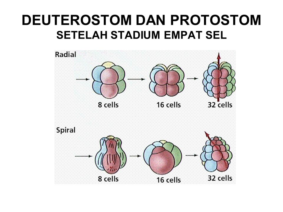 DEUTEROSTOM DAN PROTOSTOM SETELAH STADIUM EMPAT SEL