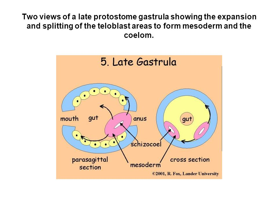 Two views of a late protostome gastrula showing the expansion and splitting of the teloblast areas to form mesoderm and the coelom.