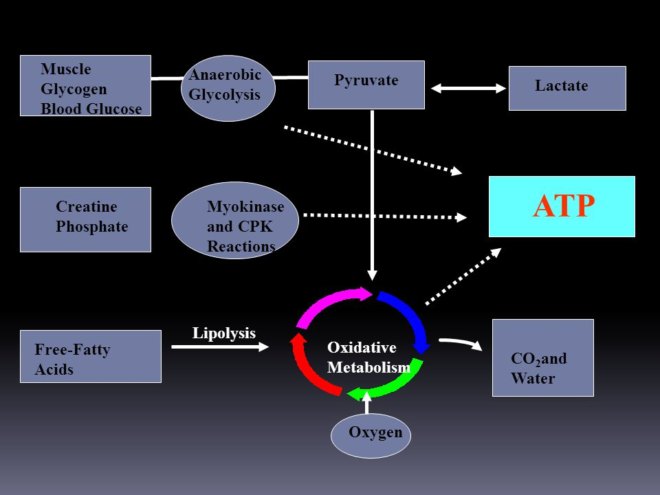 ATP SOURCES OF ENERGY FOR THE PERFORMANCE HORSE Muscle Glycogen