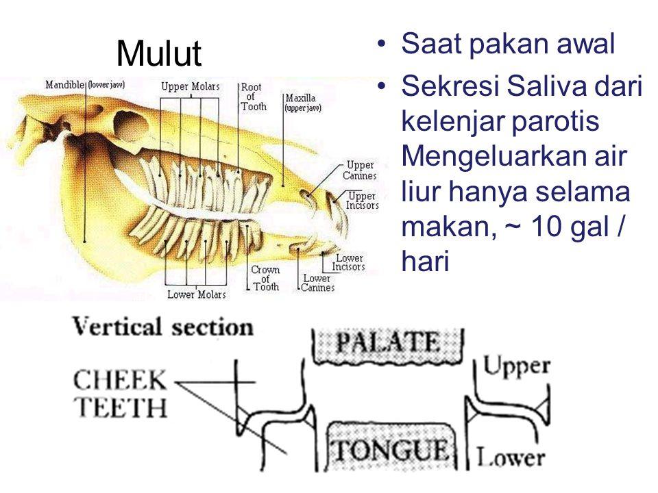 Saat pakan awal Sekresi Saliva dari kelenjar parotis Mengeluarkan air liur hanya selama makan, ~ 10 gal / hari.