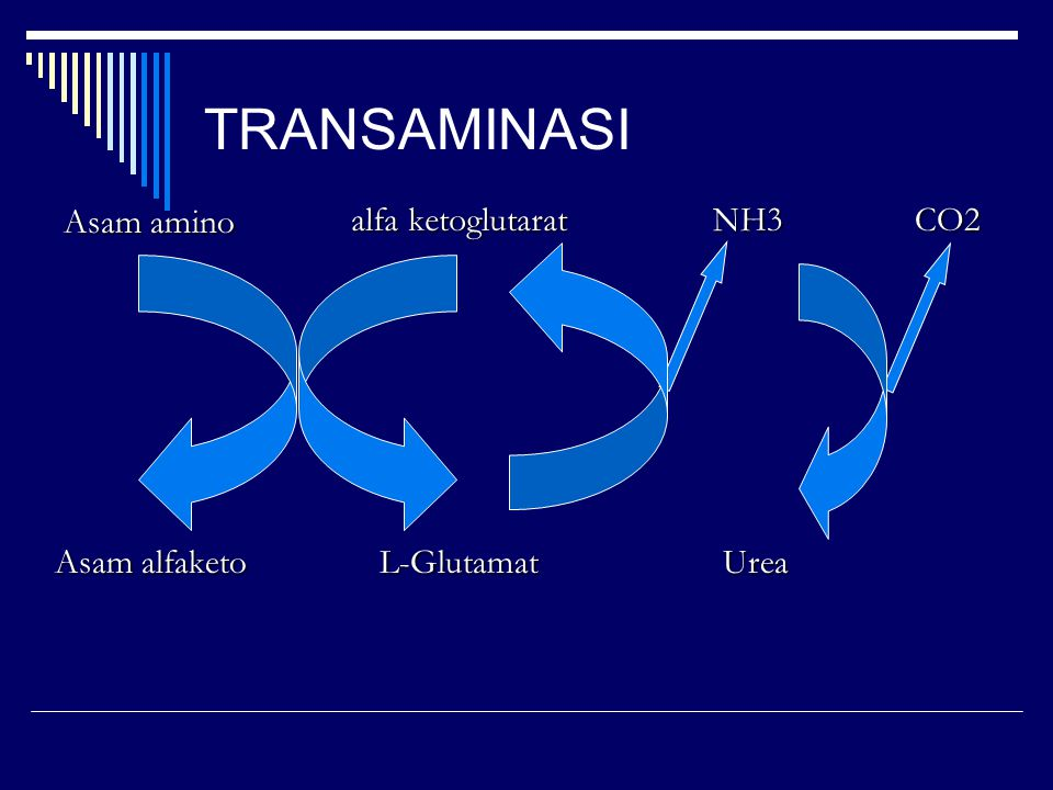 TRANSAMINASI Asam amino alfa ketoglutarat NH3 CO2 Asam alfaketo
