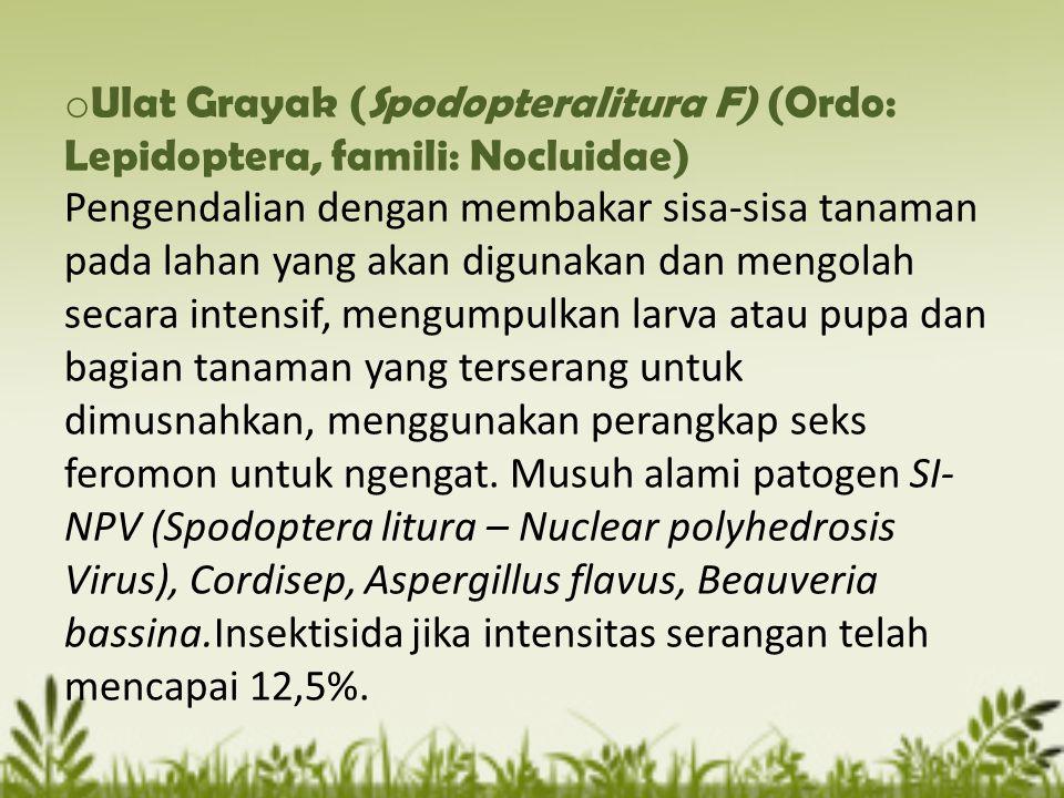 Ulat Grayak (Spodopteralitura F) (Ordo: Lepidoptera, famili: Nocluidae) Pengendalian dengan membakar sisa-sisa tanaman pada lahan yang akan digunakan dan mengolah secara intensif, mengumpulkan larva atau pupa dan bagian tanaman yang terserang untuk dimusnahkan, menggunakan perangkap seks feromon untuk ngengat.