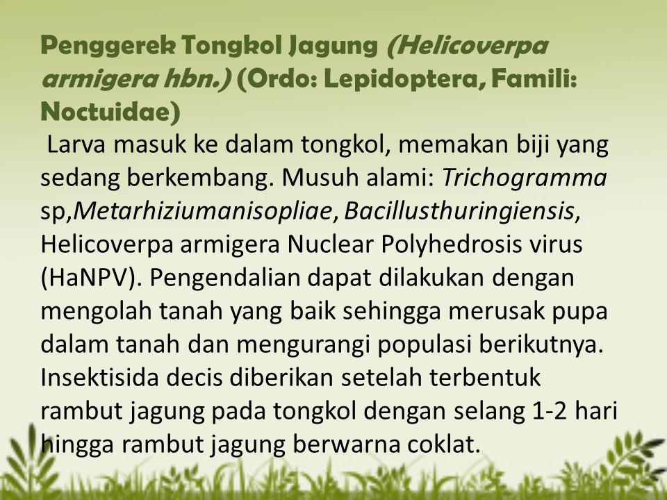 Penggerek Tongkol Jagung (Helicoverpa armigera hbn