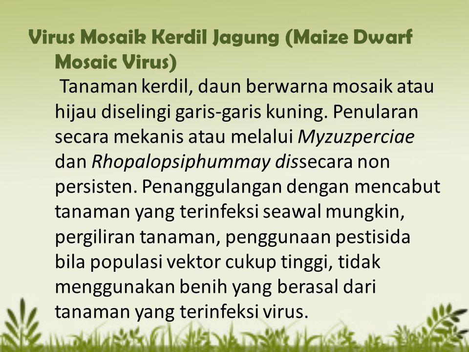 Virus Mosaik Kerdil Jagung (Maize Dwarf Mosaic Virus) Tanaman kerdil, daun berwarna mosaik atau hijau diselingi garis-garis kuning.