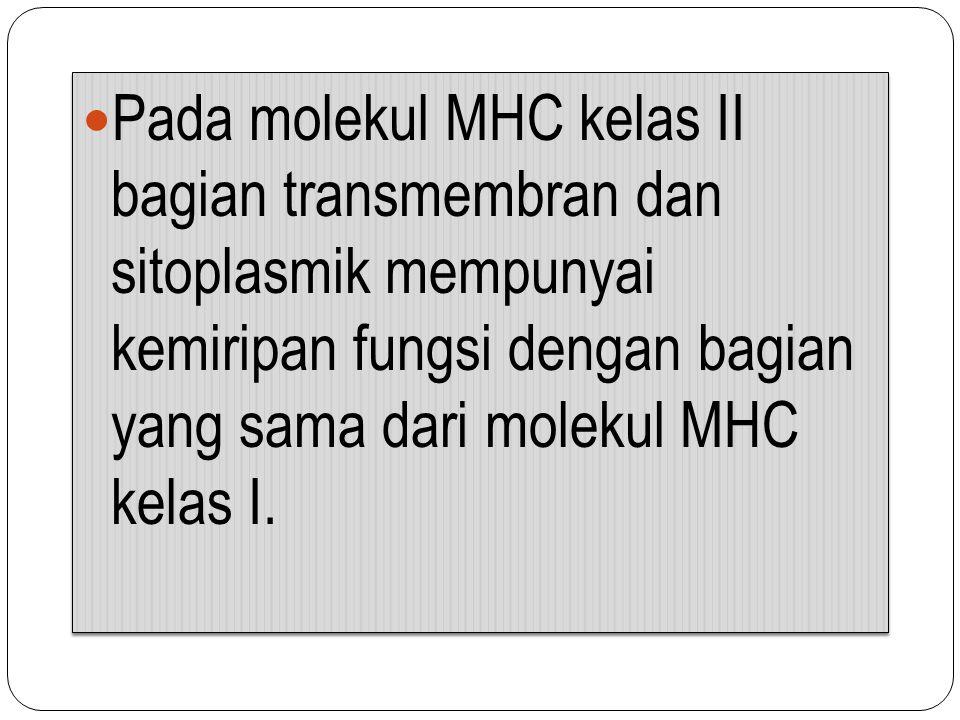 Pada molekul MHC kelas II bagian transmembran dan sitoplasmik mempunyai kemiripan fungsi dengan bagian yang sama dari molekul MHC kelas I.
