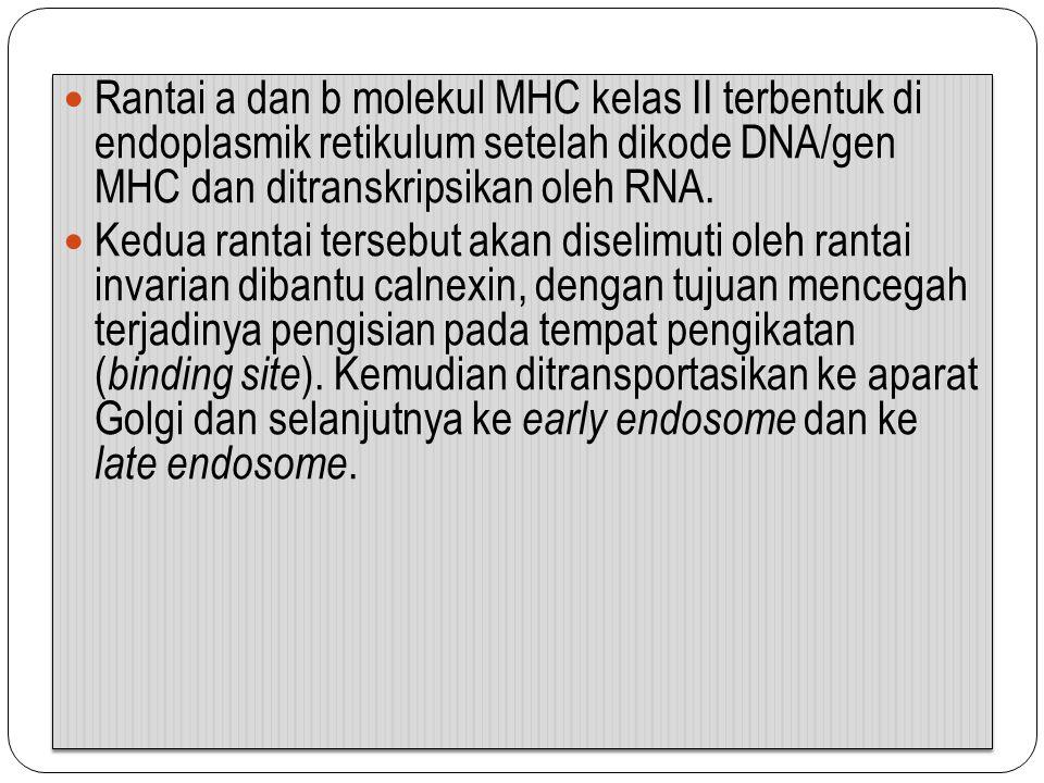 Rantai a dan b molekul MHC kelas II terbentuk di endoplasmik retikulum setelah dikode DNA/gen MHC dan ditranskripsikan oleh RNA.
