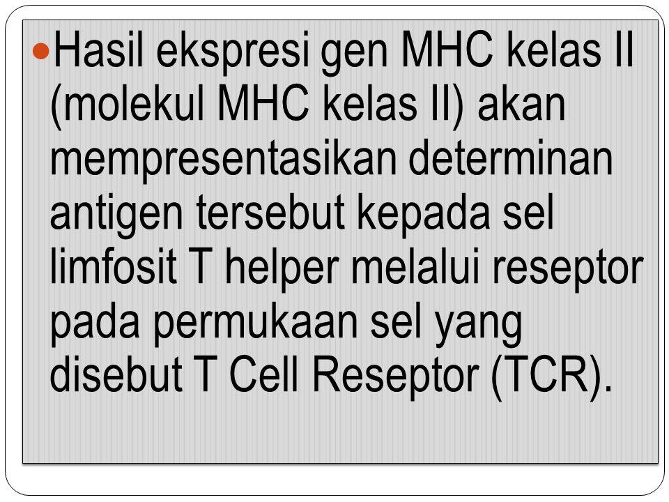 Hasil ekspresi gen MHC kelas II (molekul MHC kelas II) akan mempresentasikan determinan antigen tersebut kepada sel limfosit T helper melalui reseptor pada permukaan sel yang disebut T Cell Reseptor (TCR).