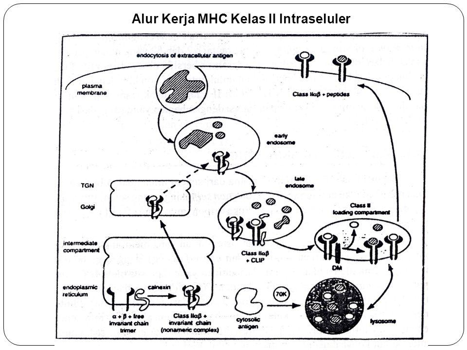 Alur Kerja MHC Kelas II Intraseluler