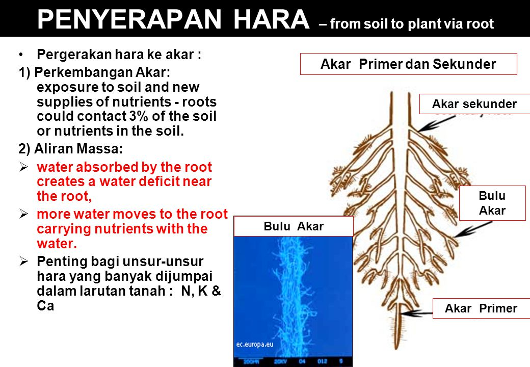 PENYERAPAN HARA – from soil to plant via root