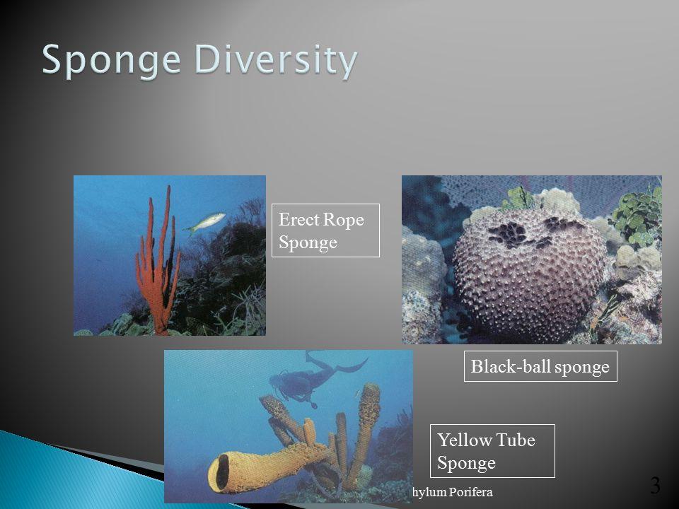 Sponge Diversity Erect Rope Sponge Black-ball sponge