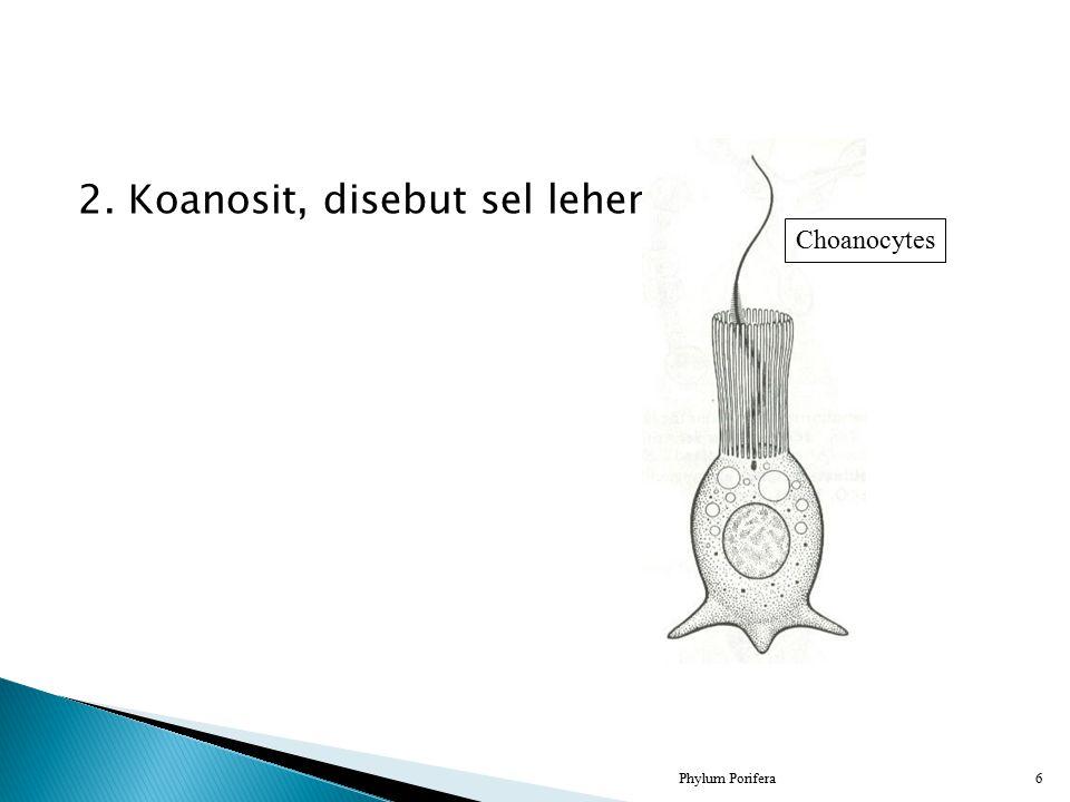2. Koanosit, disebut sel leher
