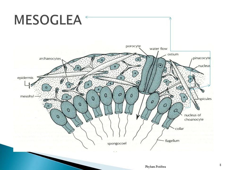 MESOGLEA Phylum Porifera