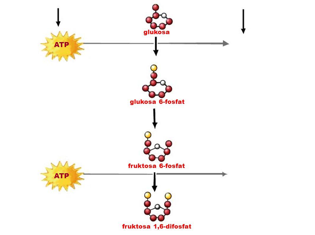 ADP ATP ADP ATP glukosa glukosa 6-fosfat fruktosa 6-fosfat