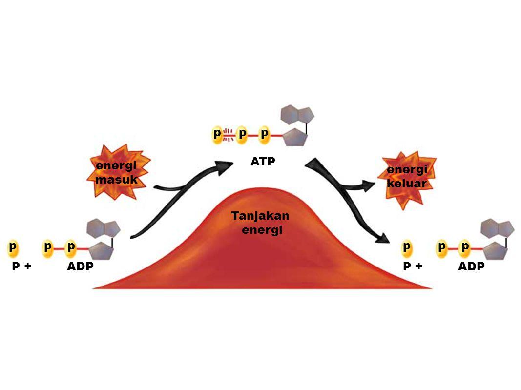 p p p ATP energi masuk energi keluar Tanjakan energi p p p p p p